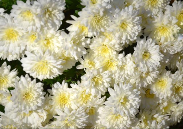 葬儀で使われる花の種類とそれぞれの持つ意味